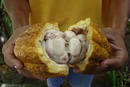 cocao pod
