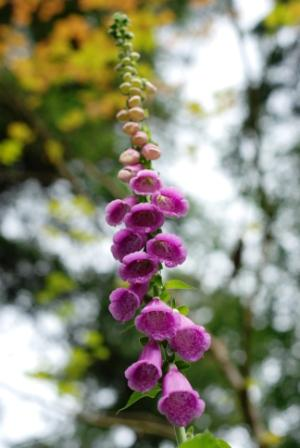 foxglove at silver creek falls closeup