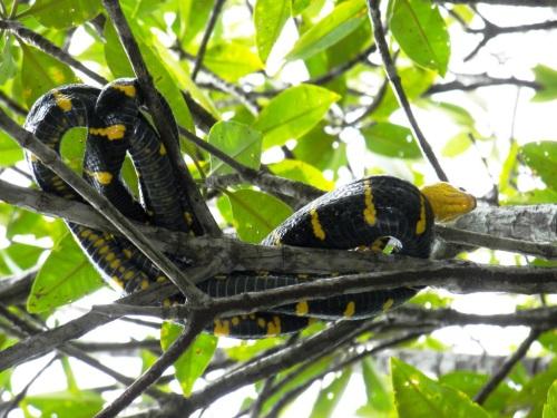 yellow banded mangrove snake
