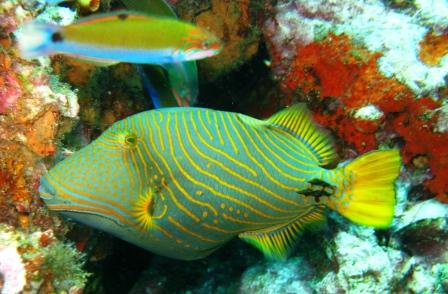 striped trigger fish